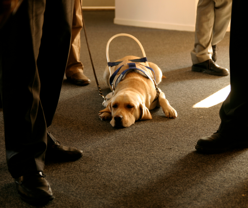 A guide dog lying down among standing people
